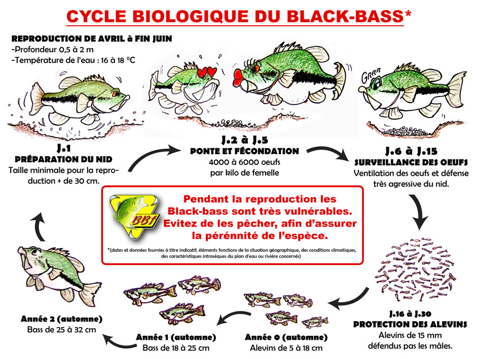 Le cycle de reproduction du black bass